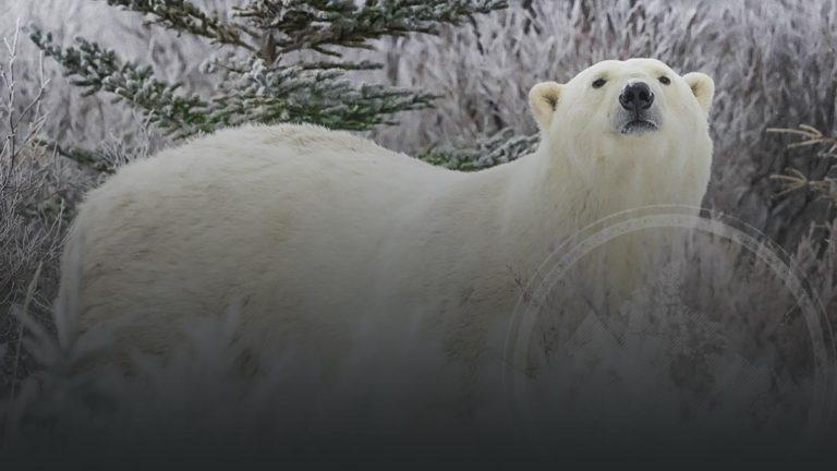 Polar Bear and Beluga Whales Expedition